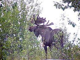 Bull moose grazing